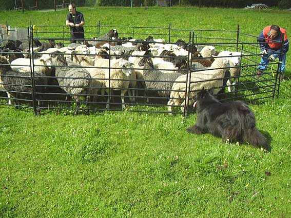 First time herding, July 2007.